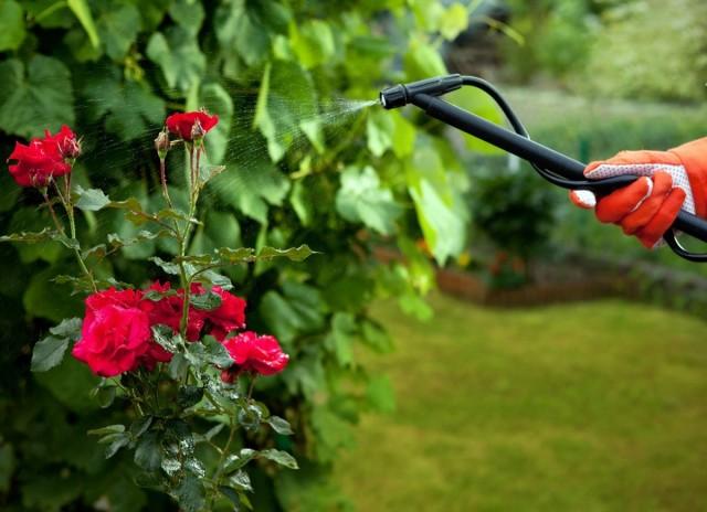 Опрыскивание растений «Цирконом» способствует их более длительному и яркому цветению