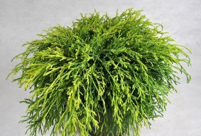Комнатный кипарисовик горохоплодный (Chamaecyparis pisifera)