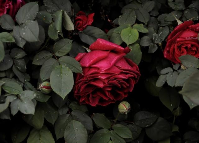 Садовая роза (Rosa)