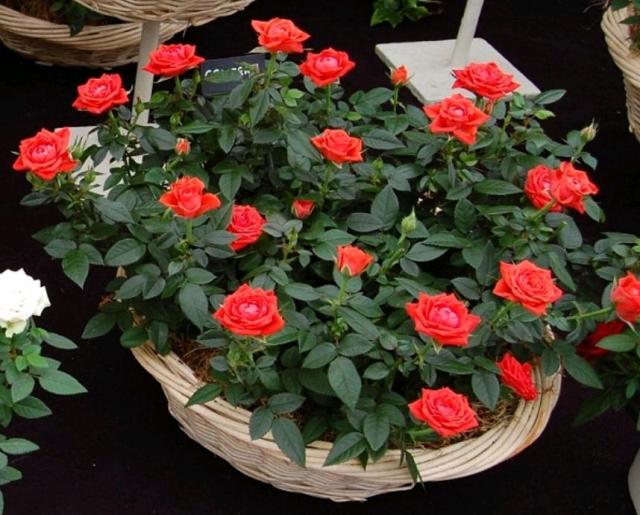 Комнатная роза (Rosa)