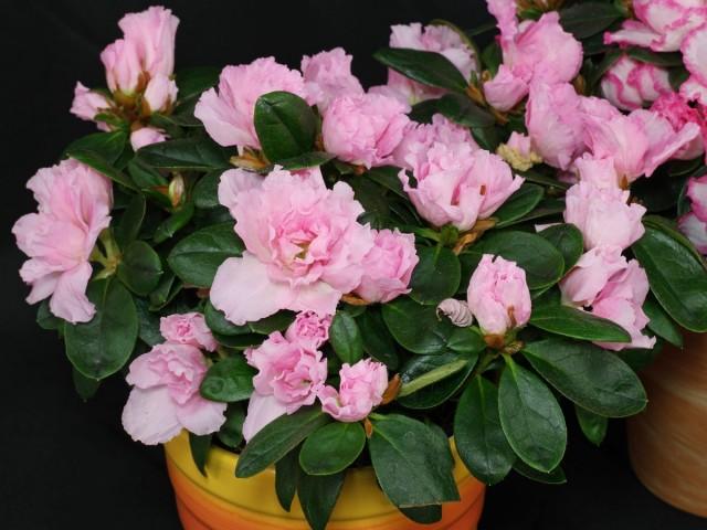 Комнатный рододендрон (Rhododendron simsii), или Азалия