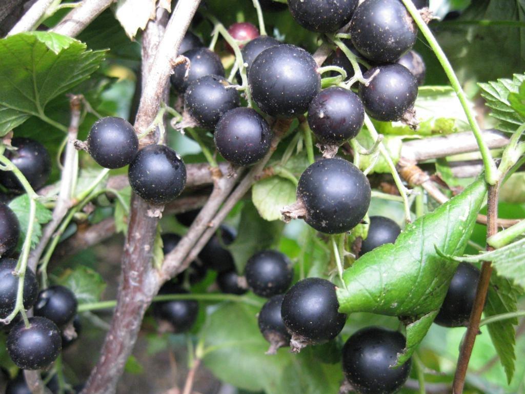 Сибирские сорта чёрной смородины — Сады Сибири