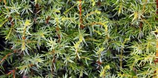 Можжеве́льник (Juníperus)