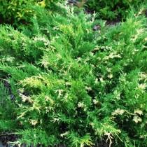 Можжевельник китайский «Экспанса Вариегата» (Juniperus chinensis 'Expansa Variegata')
