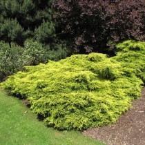 Можжевельник китайский «Голд Кост» (Juniperus chinensis 'Gold Coast')