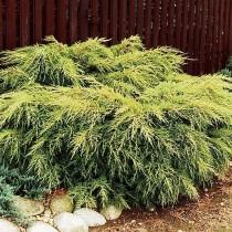 Можжевельник китайский «Голд Стар» (Juniperus chinensis 'Gold Star')
