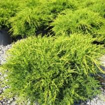 Можжевельник китайский «Олд Голд» (Juniperus chinensis 'Old Gold')