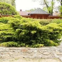 Можжевельник китайский «Пфитцериана» (Juniperus chinensis 'Pfitzeriana')