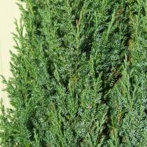 Можжевельник обыкновенный «Хиберника» (Juniperus communis 'Hibernica')