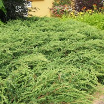 Можжевельник обыкновенный «Репанда» (Juniperus communis 'Repanda')