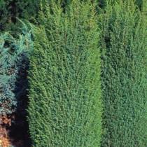 Можжевельник обыкновенный «Суецика» (Juniperus communis 'Suecica')