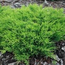 Можжевельник горизонтальный «Андорра Компакт» (Juniperus horizontalis 'Andorra Compacta')