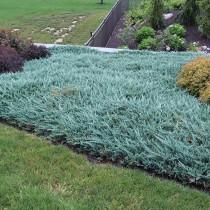 Можжевельник горизонтальный «Блю Чип» (Juniperus horizontalis 'Blue Chip')
