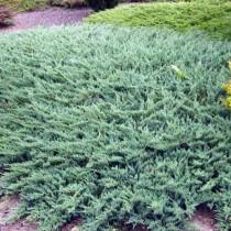 Можжевельник горизонтальный «Глаука» (Juniperus horizontalis 'Glauca')