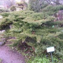 Можжевельник казацкий «Эректа» (Juniperus sabina 'Erecta')