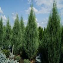 Можжевельник скальный «Скайрокет» (Juniperus scopulorum 'Skyrocket')