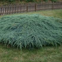 Можжевельник чешуйчатый «Блю Карпет» (Juniperus squamata 'Blue Carpet')