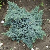 Можжевельник чешуйчатый «Блю Стар» (Juniperus squamata 'Blue Star')