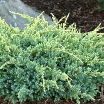Можжевельник чешуйчатый «Холгер» (Juniperus squamata 'Holger')