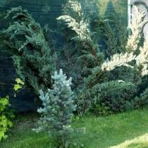 Можжевельник чешуйчатый «Мейери» (Juniperus squamata 'Meyeri')