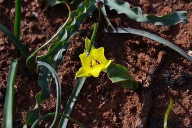 Начинающие цветоводы часто путают калохортусы с лилиевидными тюльпанами