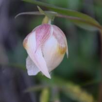 Калохортус белый (Calochortus albus)