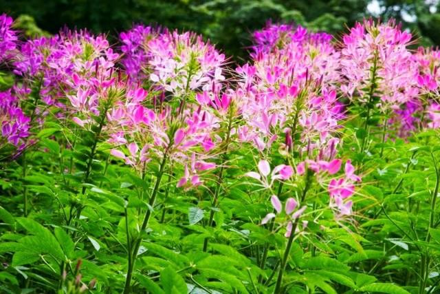 Клеома колючая в цветении