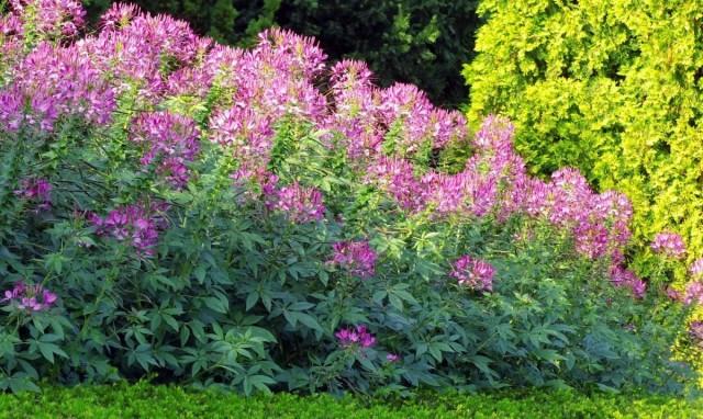 Клеому в саду используют в частности и для создания временных живых изгородей