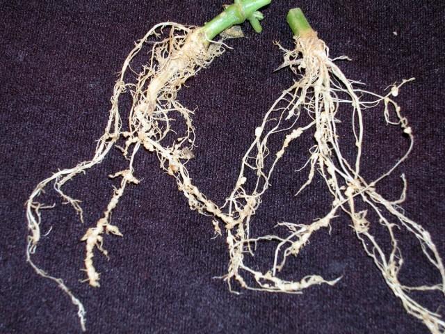 Нематода на корнях огурца