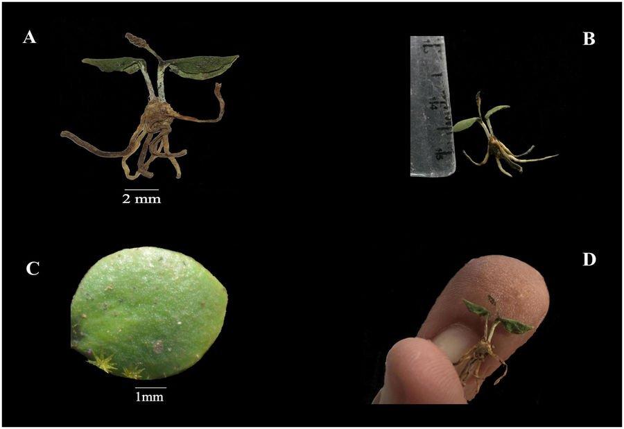 ophioglossum-malviae