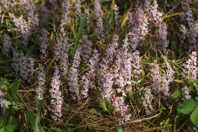 Рейнекия (Reineckea carnea) в естественных условиях обитания