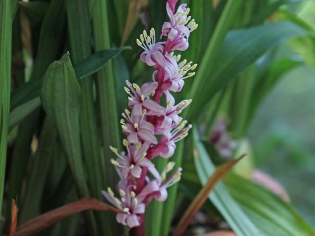 Цветы рейнекии