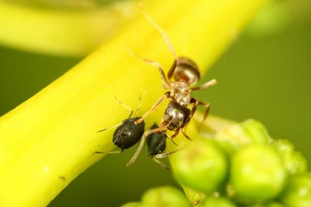 Когда муравьи раздражают тлю своими усиками, она выделяет приятный для них сок