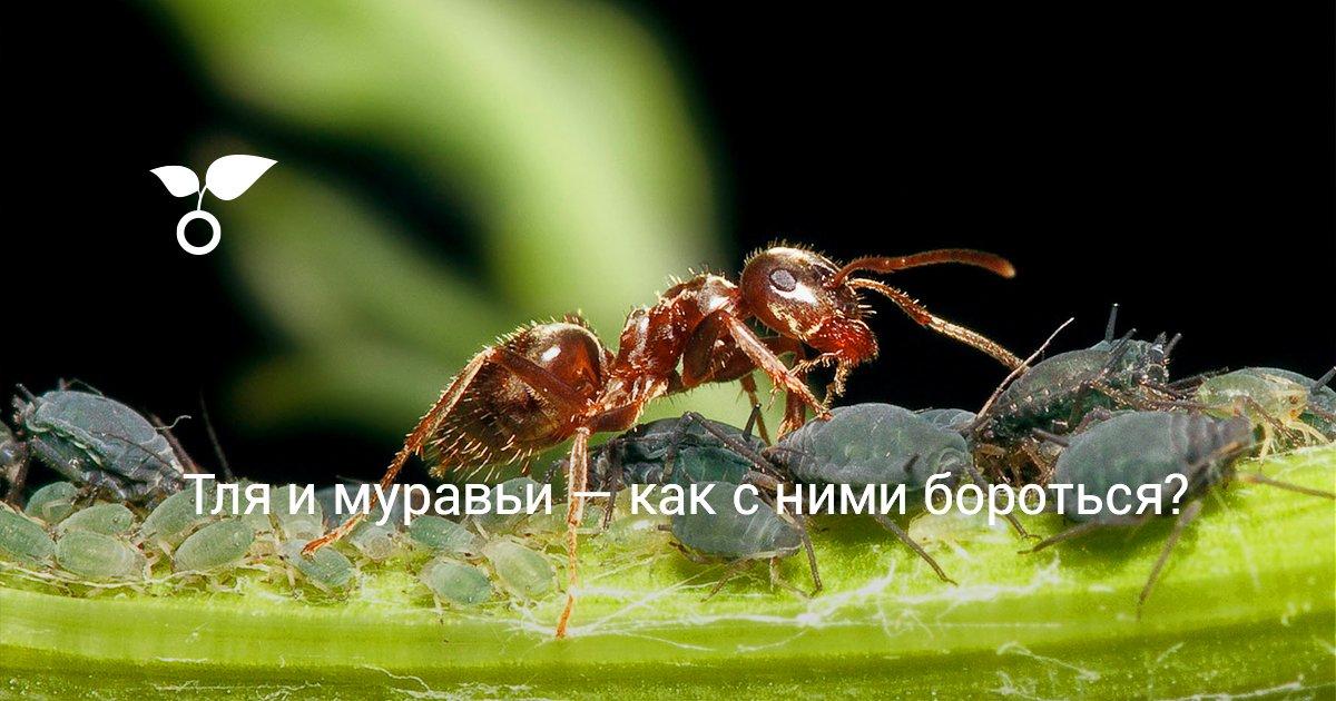 От тли и муравьев народные средства