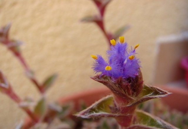 Цветок цианотиса