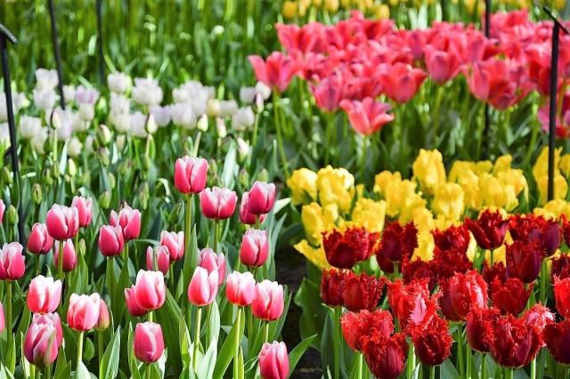 Великолепные тюльпаны поражают своим разнообразием