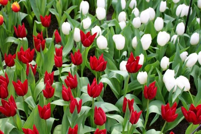 Тюльпаны удобно делить по группам по срокам цветения