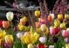 Тюльпаны - главные фавориты весенних цветников