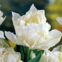 Раннецветущий махровый тюльпан «Schoonoord»