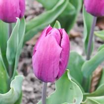 Раннецветущий простой тюльпан «Van Der Neer»