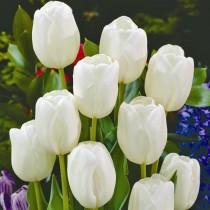Раннецветущий бокаловидный тюльпан «Diana»