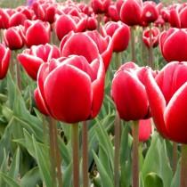Среднецветущий тюльпан из гибридов Триумф «Armani»