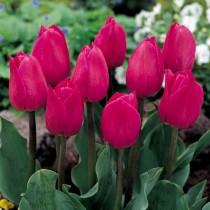 Среднецветущий тюльпан из гибридов Триумф «Barcelona»