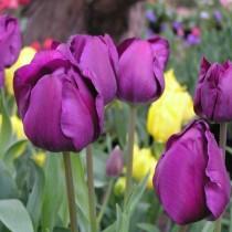 Среднецветущий тюльпан из гибридов Триумф «Negrita»