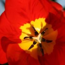 Среднецветущий тюльпан из гибридов Дарвина «Oxford»