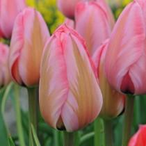 Среднецветущий тюльпан из гибридов Дарвина «Design Impression»