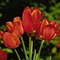 Поздний немахровый тюльпан «Orange Bouquet»