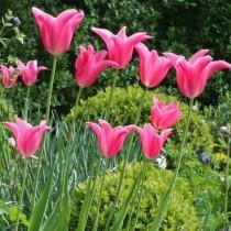 Позднецветущий лилиевидный тюльпан «Marietta»