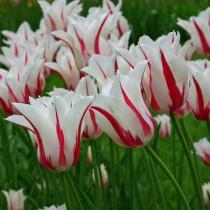 Позднецветущий лилиевидный тюльпан «Marilyn»