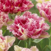 Поздний бахромчатый тюльпан «Cool Crystal»
